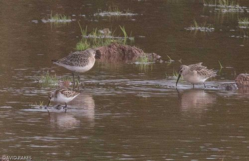 Curlew Sandpiper + Little Stint at South Huish Marsh -29.9.17