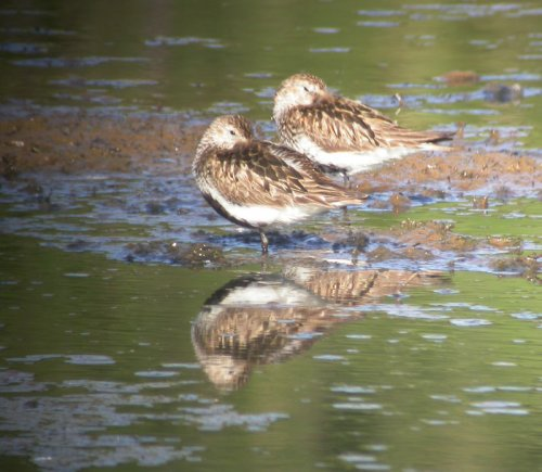 Two Dunlin roosting on Black Hole Marsh