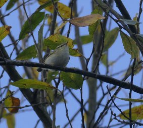Yellow-browed Warbler Clennon Lakes 4th Dec 2020 ML