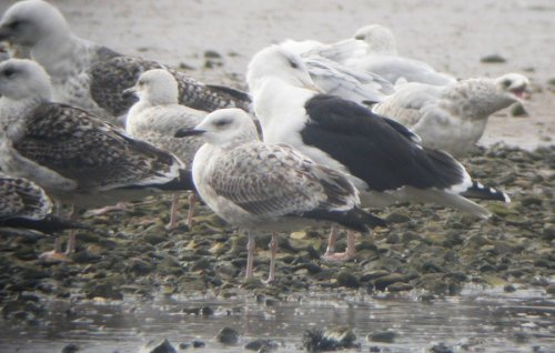 It was a chunky bird, far heftier than surronding Herring Gulls