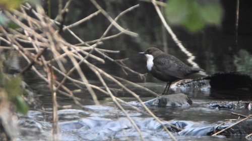 Dipper  at Ludwell Valley
