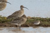 Curlew and Curlew Sandpiper