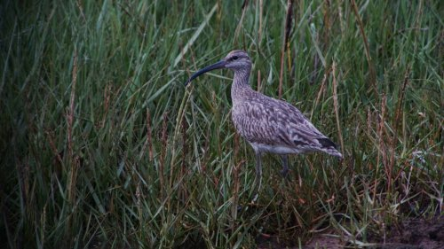 Whimbrel   29-8-2015 Dawlish Warren