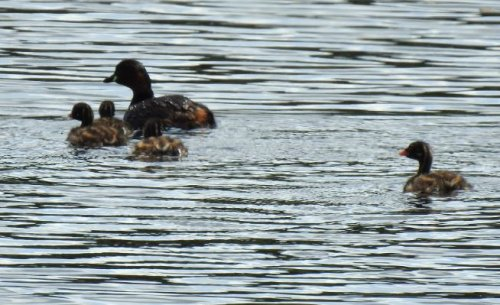 Little Grebe family