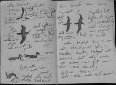 Little Shearwater, Berry Head Notes 7.6.2012 Mike Langman