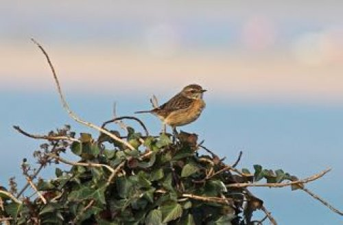 one of the Stonechat