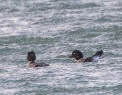 Two female Goldeneyes