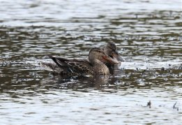 Female Shovelers