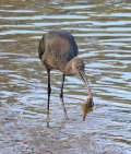 Ibis with flounder