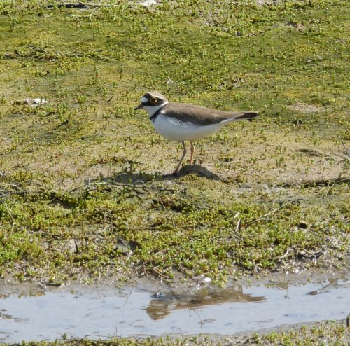 Littel Ringed Plover, Balxton Meadow