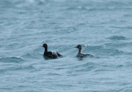 Common scoters off Paignton