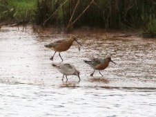 Bar-tailed Godwit and Knots at Goosemoor