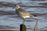 Grey Plover at Turf