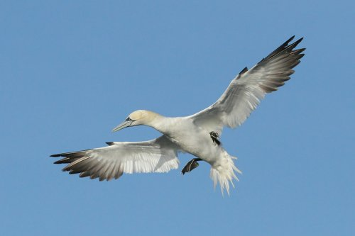 Gannet slamming on the brakes....