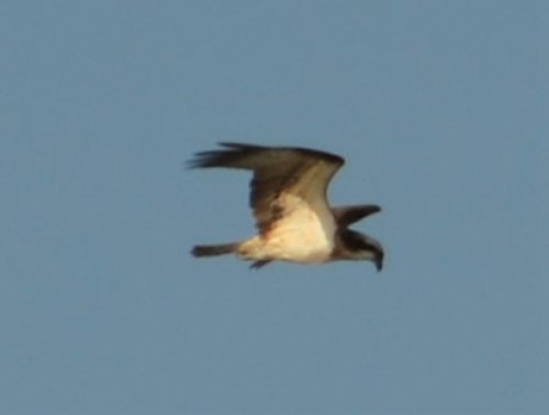 Osprey...record shot