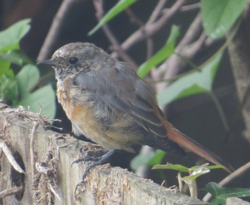 Juv (Black?) Redstart in Teignmouth Garden