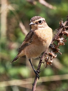 Whinchat, next to hide