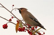 Single Waxwing