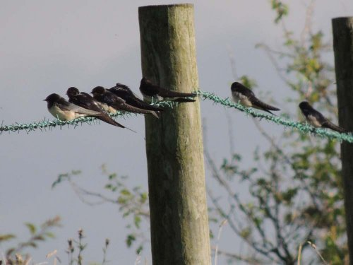 Swallows 28th August