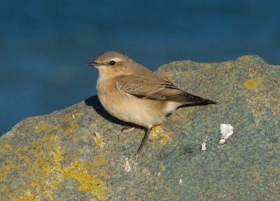Wheatear Beesands 06 Oct 2012
