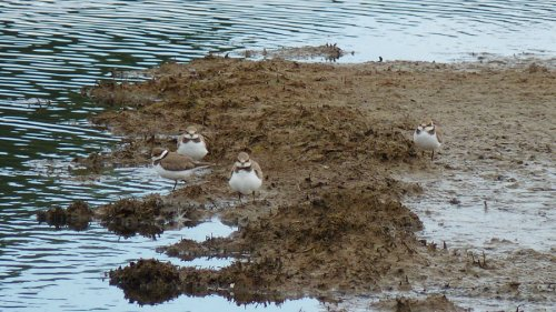 Four Little Ringed Plovers