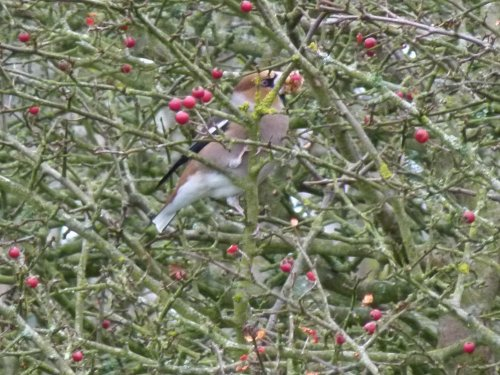 Hawfinch, one of two, East Soar Willows