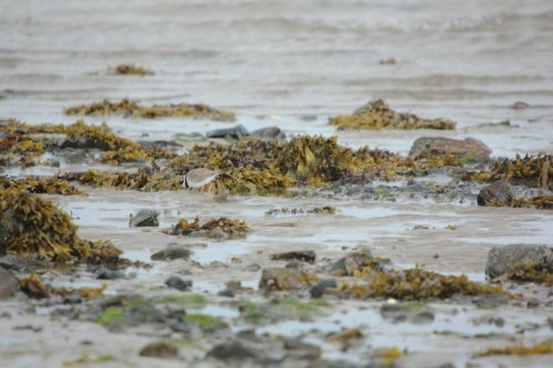 Distant shot of one Little ringed plover