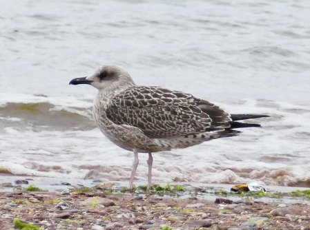Yellow_Legged Gull juv Goodrington 300617 ML