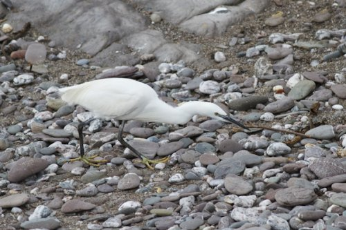 Little Egret feeding on the beach