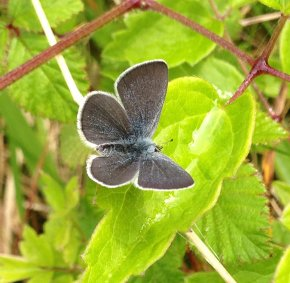 Small Blue Butterfly Berry Head 060517 ML