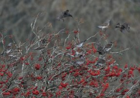 Starling and Fieldfare