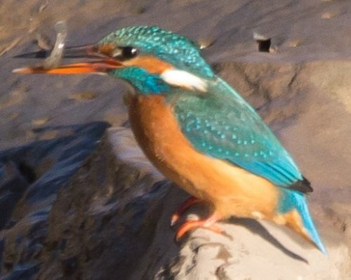Kingfisher with catch -Turf -19.1.15