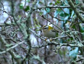Firecrest Berry Head 15 Nov 2018 ML