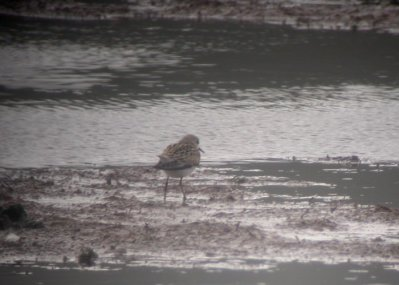 Little Stint Black Hole Marsh