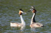 Pair of Great crested Grebe