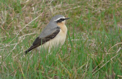1 of a small fall of wheatear this morning