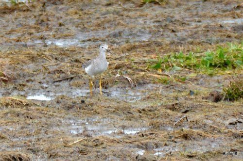 Possible Lesser Yellowlegs