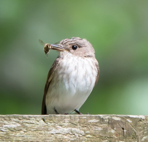 Spotted Flycatcher - Dockwell, South Brent- 05.08.2019