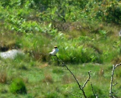 Woodchat Shrike 21.6.14 Swell Tor George Harris