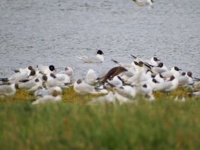 3 Mediterranean Gulls (2nd sum left + adult in water and to right facing)