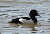 Tufted Duck on Stover Lake