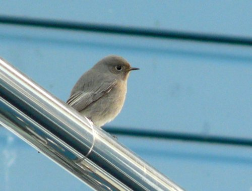 black redstart - Exmouth Sailing Club