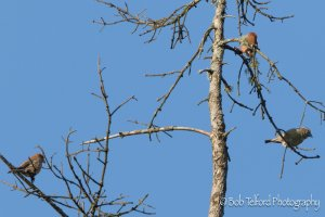 Male and female Common Crossbills
