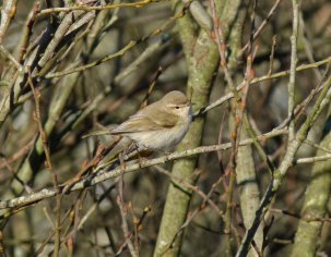 Siberian Chiffchaff Clennon Valley 18 Jan 2015 ML