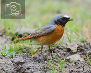 Redstart male Yarner