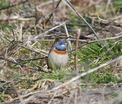 White-spotted Bluethroat Pat Mayer, Prawle 30.3.2013