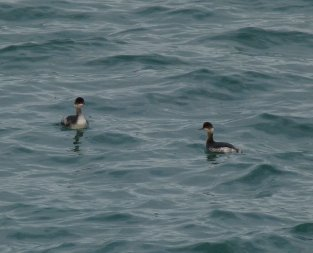 Black-necked Grebes Broadsands 26 Nov 13 ML