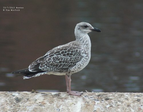 Juv Yellow-legged Gull - Exeter 23/7/2013