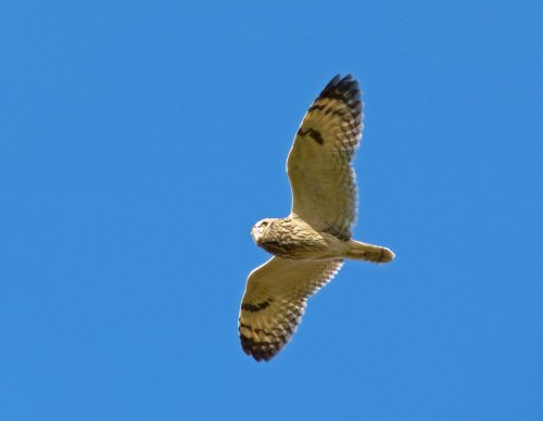 Short-eared Owl Coleton Fishacre 27 Sept 2012 ML