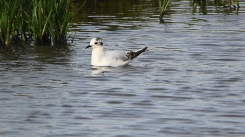 fs-Little Gull from the hide  16-6-2015